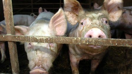 Most pig farmers in the region are said to go above and beyond the regulations. Picture: ARCHANT LIB