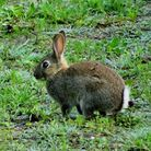 The VHD2 virus, which can kill rabbits in a matter of hours, affects both wild and domestic animals,