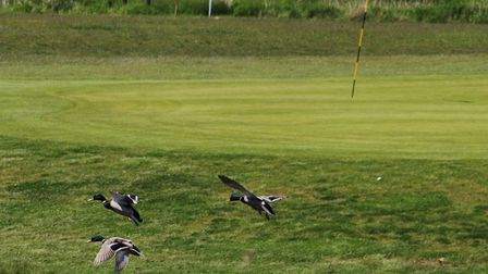 Plenty of action at Felixstowe Ferry Golf Club in the County Finals this week. Photo: PHIL GRIFFITHS
