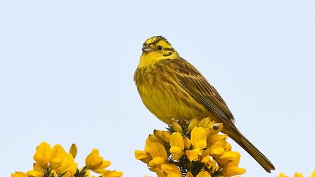 A yellowhammer which could be found at the Wrabness reserve. Picture: HARRY HOGG/EWT