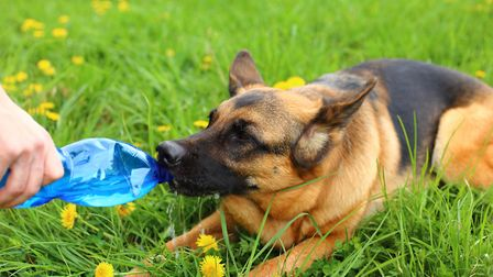 Stock image of a German Shepherd. Picture: Getty Images/iStockphoto