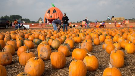 Undley Pumpkin Patch and Maize Maze site is double the size of last year. Picture: UNDLEY PUMPKIN PA