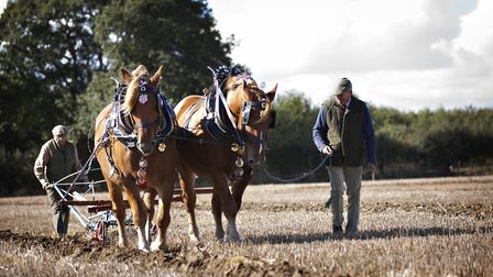 The Suffolk Punch Horses are judged on how well they work together. Picture: RUTH LEACH