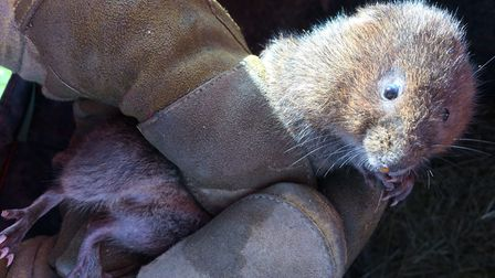 A water vole is moved during the sea wall enhancement project at Aldeburgh Town Marsh. Picture: WATE