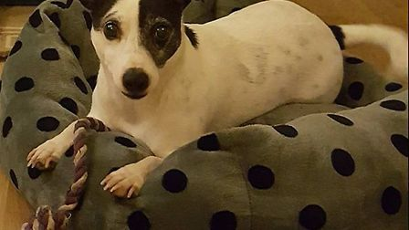 Jack Russell Terrier Dylan has gone missing from Hadleigh
