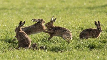Hares in the countryside. Stock photo. Picture: FRANCES CRICKMORE