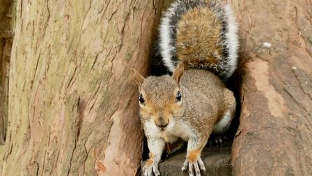 Squirrel in the Abbey gardens, Bury St Edmunds. Picture: PAMELA BIDWELL