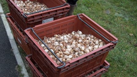The bulbs which were planted in the Abbey Gardens. Picture: JOSEPHINE SWEETMAN