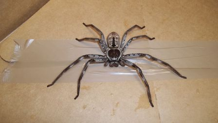 This large spider was found in Suffolk. Picture: RSPCA