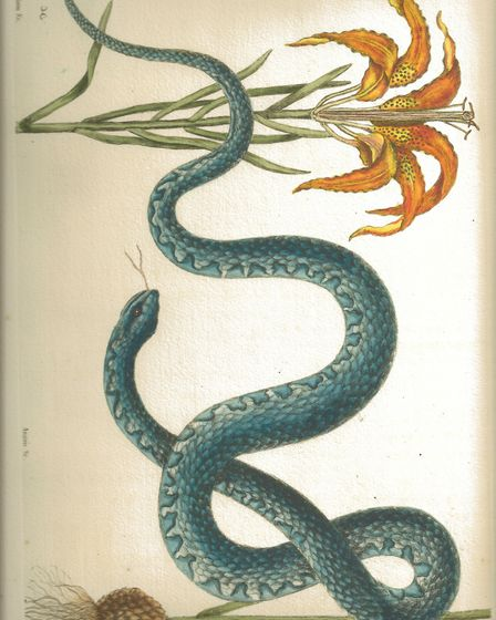 A Wampum snake drawing by Mark Catesby