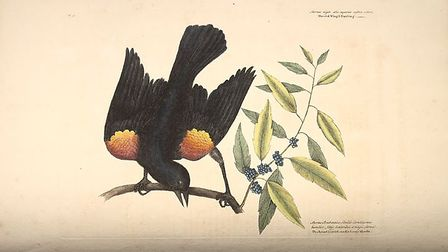 An illustration of a Red Winged Starling by Mark Catesby