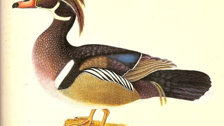 Summer duck painting by Mark Catesby