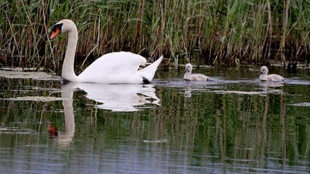 Reflections of a swan and cygnets. Picture: ROBERT MCKENNA