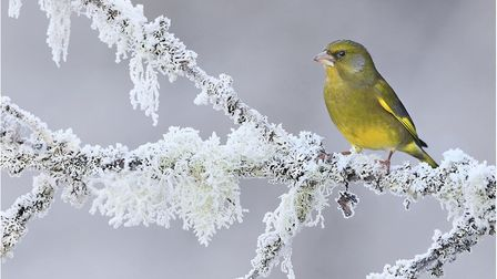 Temperatures dipped below freezing over night. Pictured is Winter Greenfinch, from the Royal Photogr