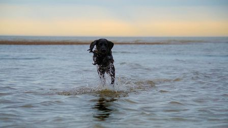Cocker Spaniel Ruby has been shortlisted as one of the UK's happiest dogs. Picture: BEN ALDER
