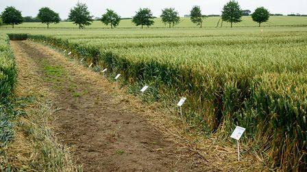 Hutchinsons UK crop trials. Picture: JOHN EVESON