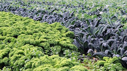 Vegetables ready for harvesting. Picture: ALEX FAIRFULL