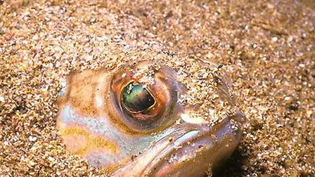 A weever fish at SEA LIFE Great Yarmouth. Picture: ARCHANT LIBRARY