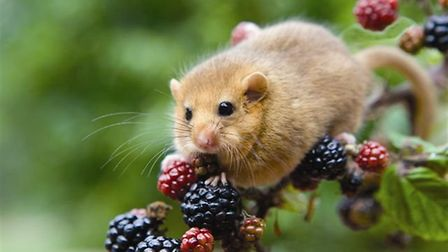 A hazel dormouse - a new survey technique pioneered by Suffolk Wildlife Trust will help the conserva