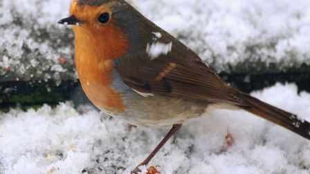 A robin coping with the snowfall. Picture: Julie Kemp