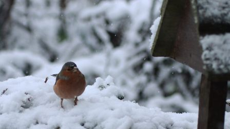 A few of the birds coping with this morning's snowfall. Picture: Julie Kemp