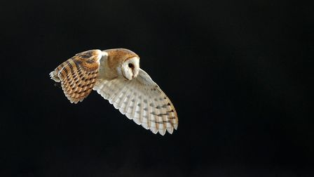 A barn owl - the species is being helped by an Essex Wildlife Trust project. Picture: JON EVANS