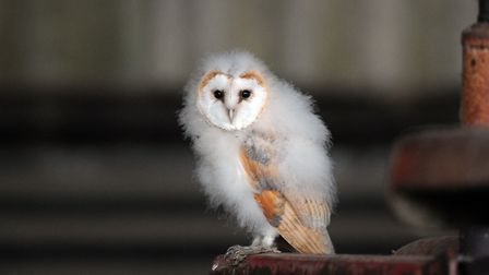 A young barn owl - many barn owl chicks have been ringed under licence in the Essex Barn Owl Conserv