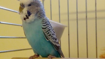 Could you give Charlie the budgie a new home