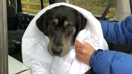 Mole the labrador/husky cross warming up after its icy encounter. Picture: Hermione Clarke