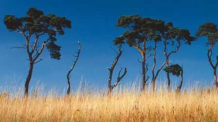 Part of one the the Brecks' characteristic pine lines - a distinctive feature of a distinctive lands