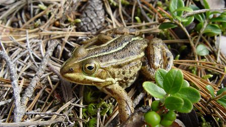 An adult male pool frog - the species, a UK rarity, has been re-introduced in the Brecks after being