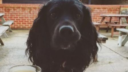 Missing Kersey dog Toby. Picture: BRUCE NEWBIGGING