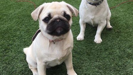 Bean the pug has been returned to Freckenham. Picture: Fay Meen