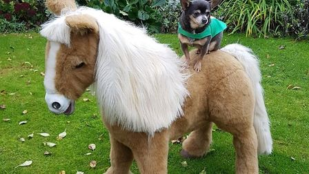 Kenny the chihuahua guards Maddie the pony, who is waiting to go to its rightful owner. Picture: SES