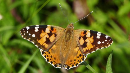 Painted Lady Butterfly in Shelley churchyard. Picture: PETER CUTTS
