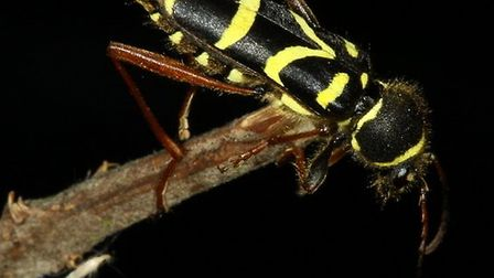 The zig-zag pattern on a Wasp beetle. Picture: ROBERT MCKENNA
