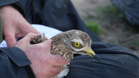 A stone-curlew is tagged for tracking as part of the Ground Disturbance project. Picture: RSPB
