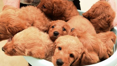 The litter of 11 puppies at Roseorwell Pups, near Ipswich. Picture: GREGG BROWN
