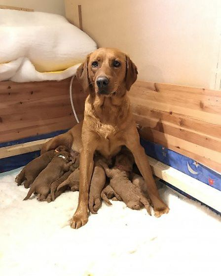 Purdey and her litter of 11 puppies at Roseorwell Pups based near Ipswich. Picture: HELEN OLIVER/ROS