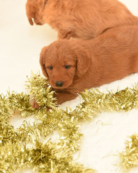 One of the puppies playing with Christmas tinsel. Picture: GREGG BROWN