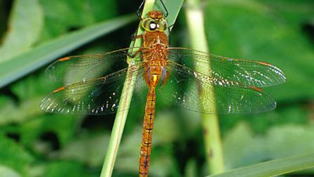 A Norfolk hawker dragonfly - one of the species for which the River Waveney is especially noted. Pic