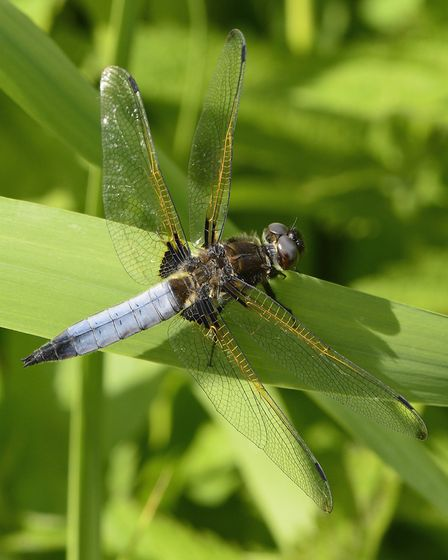 A male scarce chaser dragonfly - one of the River Waveney's most noteworthy species of wildlife. Pic