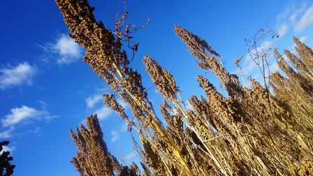 A quinoa crop ready for harvest. Picture: RED FLAME COMMS