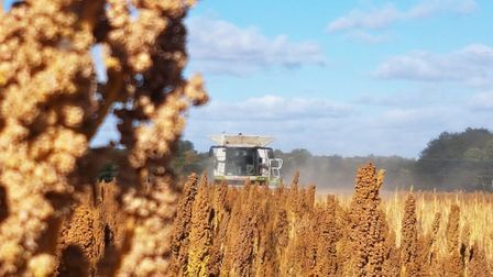 Quinoa harvest taking place in East Anglia. Picture: RED FLAME COMMS