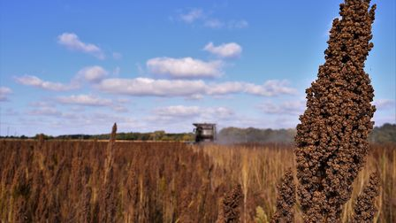 Quinoa harvest place in East Anglia. Picture: RED FLAME COMMS