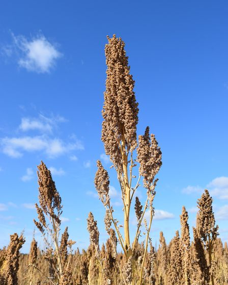 A quinoa crop grown in the UK. Picture: RED FLAME COMMS