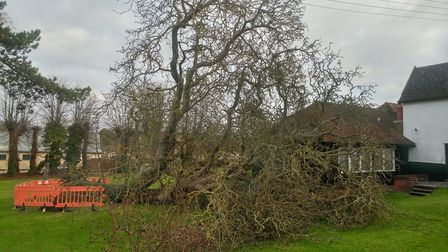 The walnut tree in Milton Road South. Picture: PATRICK ROBERTS