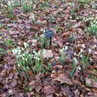 The first snowdrops at Beth Chatto - Mrs McNamara always flowers on New Year's Day.