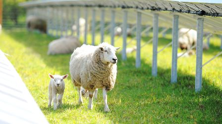 Sign of the times: Ewes and lambs graze between solar panels at an East Anglian solar farm. Pictur