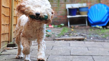 Dudley the cockapoo enjoys the wind. Picture: SARAH LUCY BROWN
